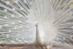 White peacock with feathers out Royalty Free Stock Photos