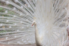 White peacock with feathers show side view Stock Photos