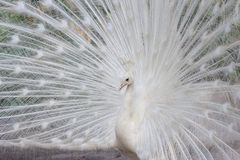 White peacock with feathers side view Royalty Free Stock Photography