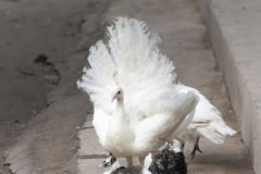 White peacock flaunting tail Royalty Free Stock Photography