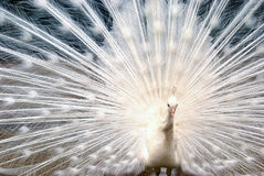 White Peacock in the Garden Royalty Free Stock Photography