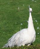 White peacock on grass Stock Images