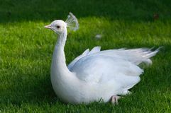 White peacock on grass Stock Image
