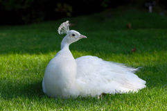 White peacock on grass Royalty Free Stock Image