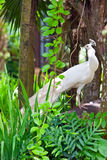White peacock among green foliage Royalty Free Stock Photography