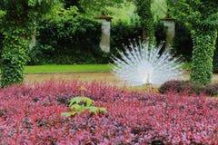 The white peacock. In the green garden Stock Photos