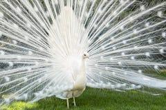 White peacock in the Isola Mella, Maggiore lake, Italy. Stock Photo