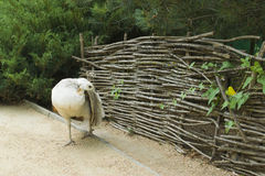 White peacock. Near the fence and forest Stock Images