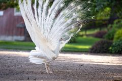 White peacock with fanned out tail stock images
