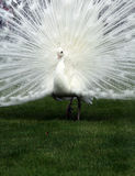 White peacock and perfect lawn Stock Images