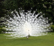 White peacock and perfect lawn Stock Photos