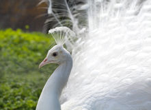 White Peacock portrait Stock Image