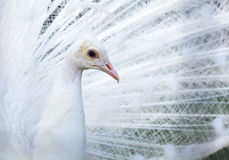 White Peacock portrait Royalty Free Stock Image