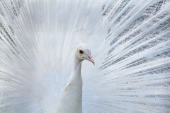 White Peacock portrait Royalty Free Stock Photography