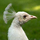 White peacock Royalty Free Stock Images