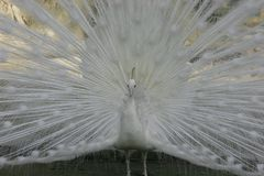 White Peacock. With it's tail feathers spread,looking left Stock Image