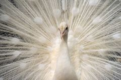 White peacock show its tail. A peacock show its beautiful tail to attract female, during mating season stock photos