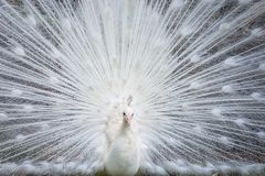 White peacock showing off his beautiful tail. Fully opened royalty free stock photography