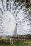 White peacock showing off his open tail. White peacock showing off his tail fully opened stock images