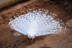 White peacock shows feathers out. White peacock shows  tail spread Royalty Free Stock Images