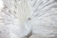 White peacock shows its tail feather Stock Photo