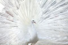 White peacock shows its tail feather Royalty Free Stock Images