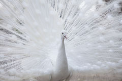 White peacock shows its tail feather Stock Photos