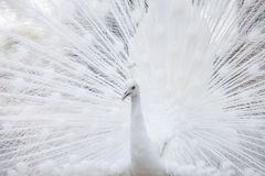 White peacock shows its tail feather. Portrait Of White Peacock During Courtship Display,white peacock shows its tail feather Stock Photography
