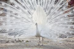 White peacock shows its tail feather. Portrait Of White Peacock During Courtship Display,white peacock shows its tail feather Royalty Free Stock Photo