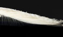 White Peacock Stock Photography