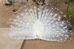 White peacock Royalty Free Stock Image
