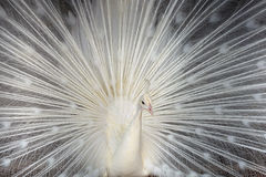 The White peacock. White peacock in zoo.spread tail-feathers Royalty Free Stock Photography