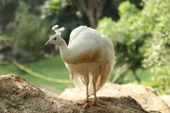 White peafowl Royalty Free Stock Images