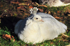 White Peafowl Royalty Free Stock Image