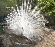 White peafowl Royalty Free Stock Image