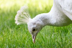 White peafowl close-up portrait with green background royalty free stock photos