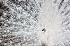 White peafowl Royalty Free Stock Photo