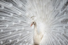White peafowl Stock Photography