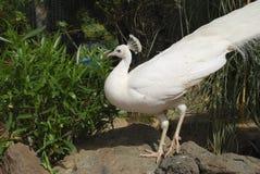 White peafowl Pavo cristatus alba. White peafowl Pavo cristatus alba male stock photography