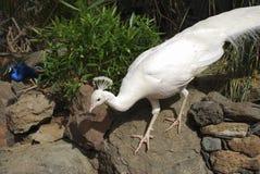 White peafowl Pavo cristatus alba. White peafowl Pavo cristatus alba male royalty free stock image