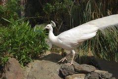 White peafowl Pavo cristatus alba. White peafowl Pavo cristatus alba male stock photo