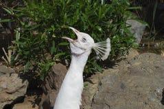 White peafowl Pavo cristatus alba shouts. White peafowl Pavo cristatus alba male shouts royalty free stock image