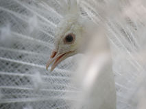 White Peafowl With an Up Close Look at His Face stock photo