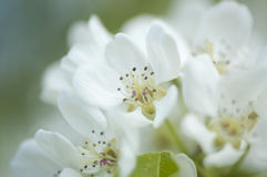 White pear blossom close-up. Close-up of blooming pear tree Royalty Free Stock Photography