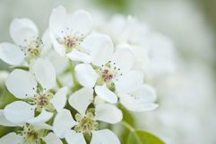 White pear blossom close-up. Close-up of blooming pear tree Royalty Free Stock Photo