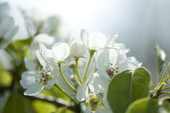 White pear blossom close-up. Close-up of blooming pear tree Royalty Free Stock Image