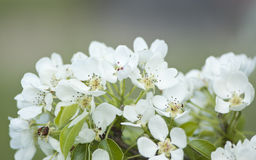 White pear blossom close-up. White blooming pear tree blossoms Royalty Free Stock Photos