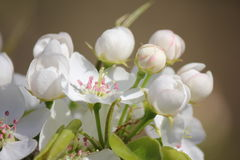 White pear blossom Royalty Free Stock Photography