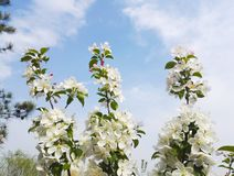 White Pear Blossom in spring time.  royalty free stock photography
