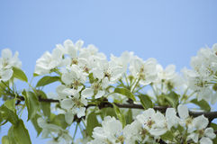 White pear blossoms. In the blue sky background Royalty Free Stock Photos